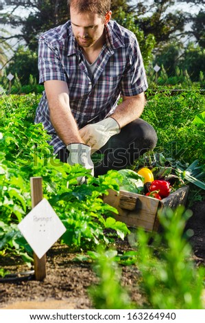 Farmer picking harvesting organic vegetables in the urban farm garden on a sunny day  - stock photo