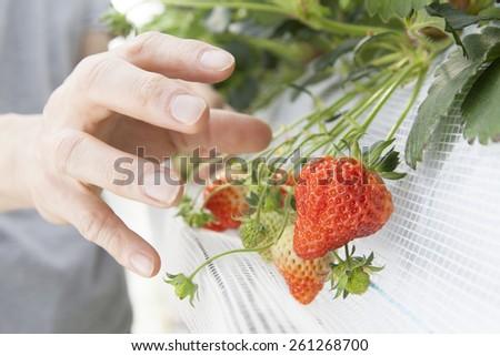 farmer picking strawberry - stock photo