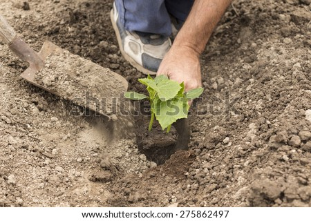 farmer planting a cucumber seedling in the vegetable garden