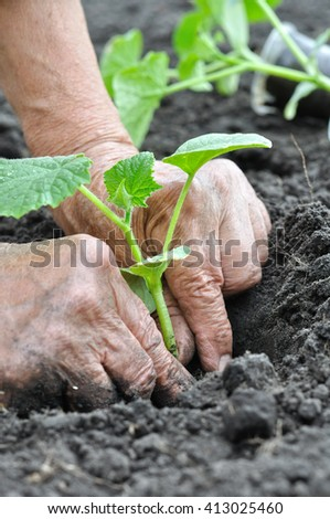 farmer planting a cucumber  seedling in the vegetable garden - stock photo