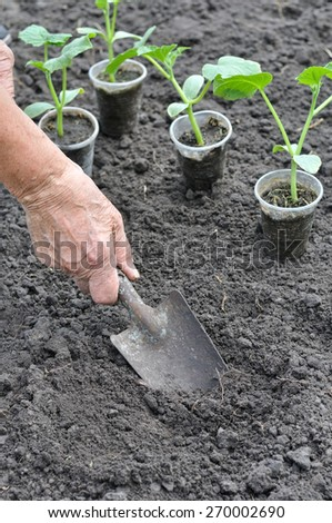 farmer planting a cucumber seedling in the vegetable garden in series, 1 of 4 - stock photo