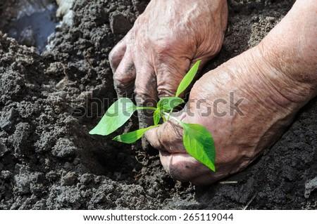farmer planting a pepper seedling in the vegetable garden - stock photo