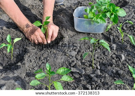 farmer  planting a pepper seedling in the vegetable garden