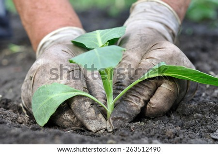 farmer planting cabbage seedling in the vegetable garden - stock photo