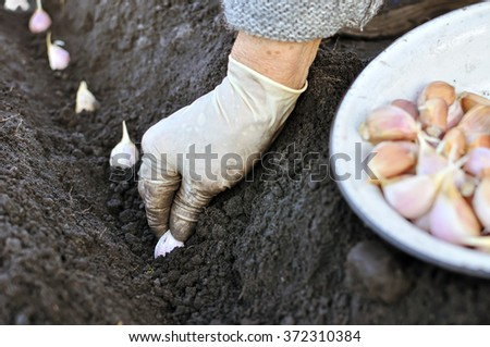 farmer planting garlic in the vegetable garden - stock photo