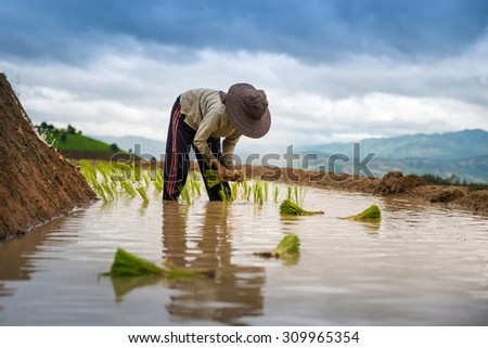 Farmer planting on the terraced rice field - stock photo