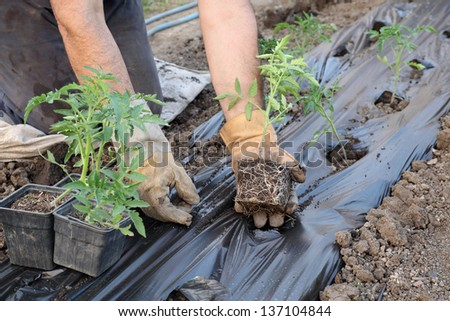 Farmer planting tomato seedlings in a greenhouse - stock photo