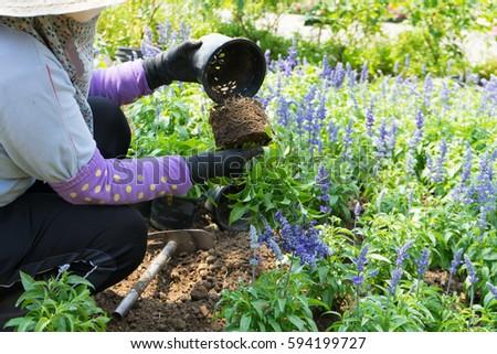 Farmer Planting Young Seedlings Of Blue Flower Plant In The Flower Garden