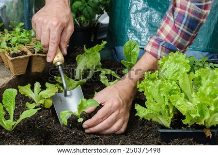 Farmer planting young seedlings of lettuce salad in the vegetable garden - stock photo