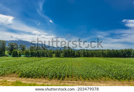 Farmer's field with corn growth from the ground. Farmer's field with mountain and blue sky background. British Columbia, Canada. - stock photo
