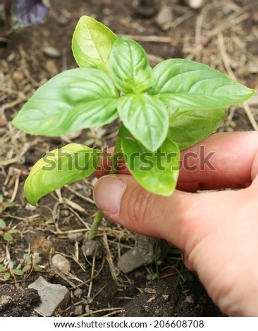 Farmer's hand holding a small basil plant (Ocimum basilicum) - stock photo