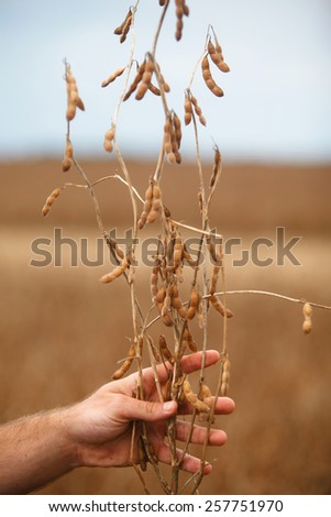 Farmer 's hand showing soybean plant. - stock photo