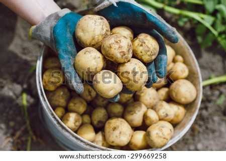 Farmer showing fresh harvested potatoes in a bucket. - stock photo