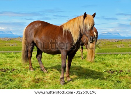 Farmer sleek bay horse with a light mane. Warm summer day in Iceland. Green lawn on the shores of the fjord - stock photo