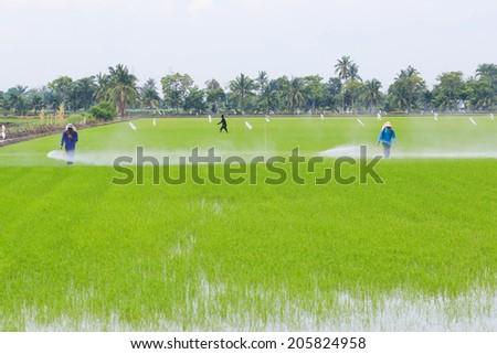 Farmer spray the fertilizer in rice field. - stock photo