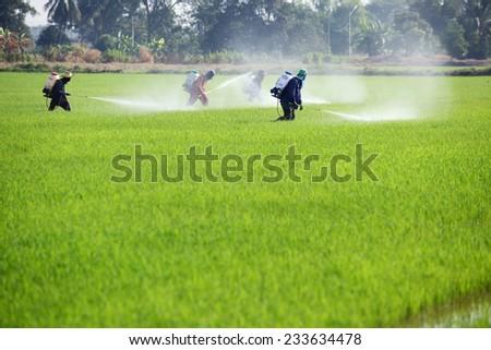 farmer spraying pesticide in paddy field - stock photo