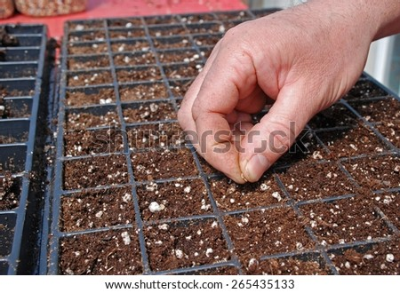 Farmer starting tomato seeds in a greenhouse