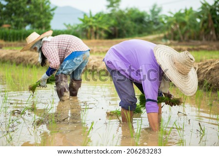 Farmer transplant rice seedlings on field in rural Thailand.
