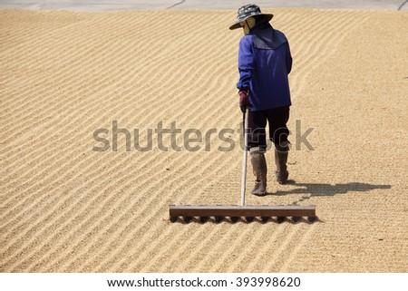 farmer using harrow to drying rice seed in field - stock photo