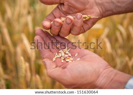 Farmer with grain of wheat in work worn hands, agriculture nature photo - stock photo