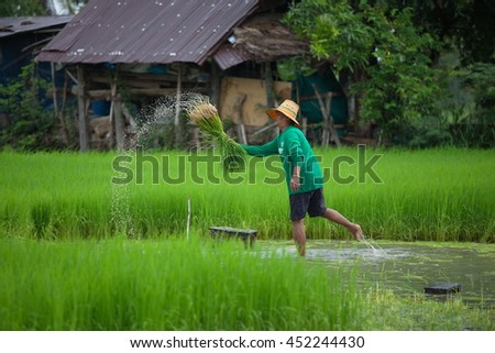 Farmer working at green rice field.,Farmer in paddy fields at yasothon thailand July 06 2016