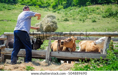 Farmer working in cattle pen, cows eating