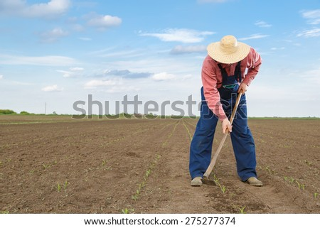 Farmer working  in corn field with copy space - stock photo