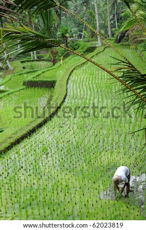 Farmer working in paddy field, Bali Indonesia. - stock photo