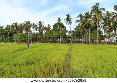 Farmer working of a rice field in Palawan, Philippines - stock photo