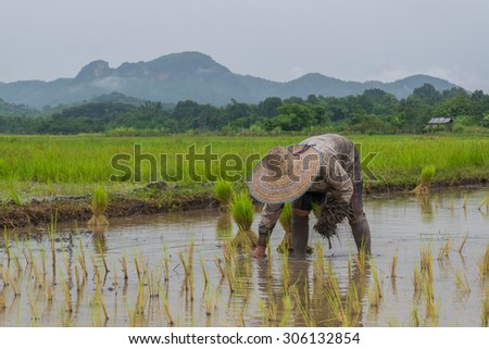 Farmer working planting rice in the paddy field  in cloudy raining day - stock photo