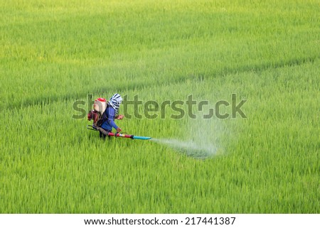 Farmers are spraying herbicide in rice.