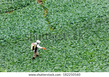 Farmers are spraying pesticides on the cabbage flied. - stock photo