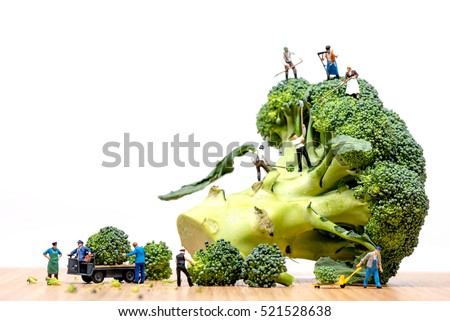 Farmers harvesting broccoli crown and loading truck.