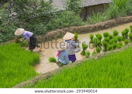 Farmers of Hmong preparing transplant in water season, Mu Cang Chai , Vietnam