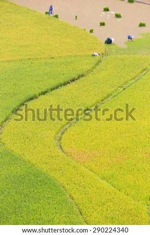 Farmers of Hmong working transplant in terraced fields in water season , Mu Cang Chai district, Yen Bai province, Vietnam - stock photo