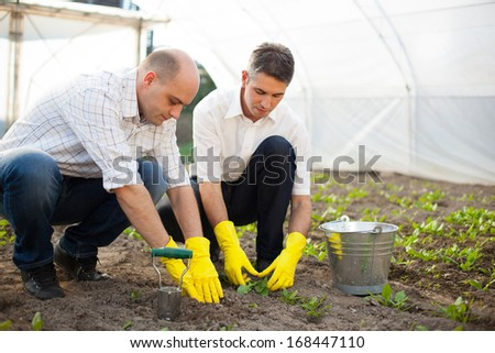 Farmers planting spinach in the greenhouse.  - stock photo