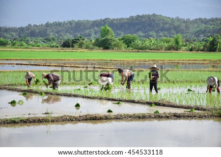 farmers plants rice in the rice field with cloudy sky from far view.