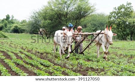 Farmers plugging in soybean field with bulls, rural village Salunkwadi, Ambajogai, Beed, Maharashtra, India - stock photo