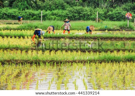 Farmers Rice farming in the rice field