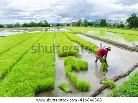 Farmers  rice seedlings in thailand,Thailand