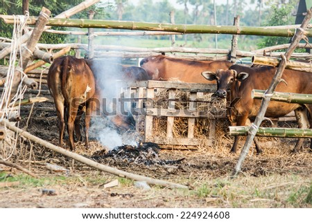 Farmers set fire to smoke for repel Insects to cattle. - stock photo