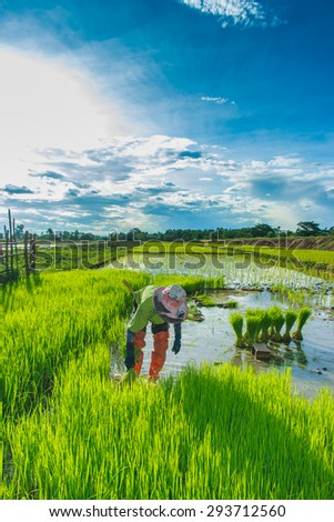 Farmers - Thai Farmers Start the planting of rice in the field of them. Until the field becomes lush green with rice.