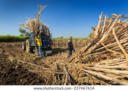 Farmers was preparing sugarcane to lift up on the tractor. - stock photo