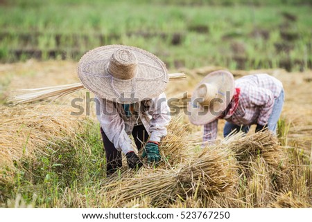 Farmers with straw hat during the rice harvest in Thailand