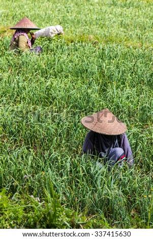 farmers working grow onion in a field - stock photo