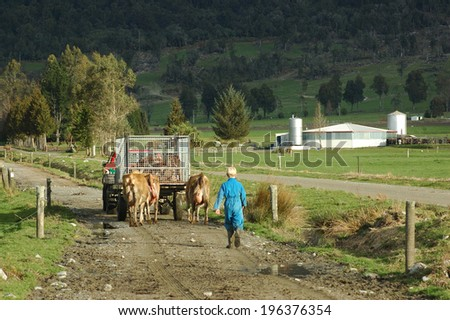Farmhand in vehicle and a boy walking cows and newborn calves to the dairy, West Coast, New Zealand - stock photo