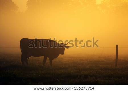 Farmland. Cow on the field in the morning sunlight. - stock photo