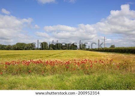 farmland landscape with red field poppies growing by a field of ripening barley