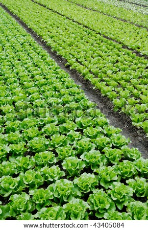 Farmland, vegetable field is growing on a variety of vegetables, - stock photo