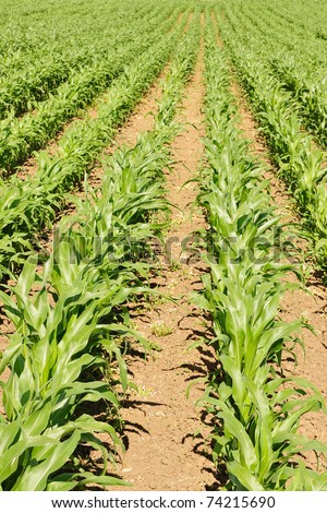 Farmland View of Rows of Sweetcorn Crops in Late Spring - stock photo